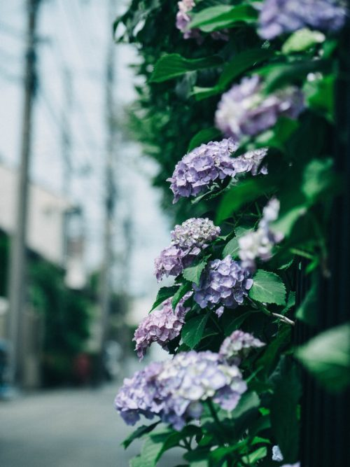紫陽花、雨が降ってる様子の写真