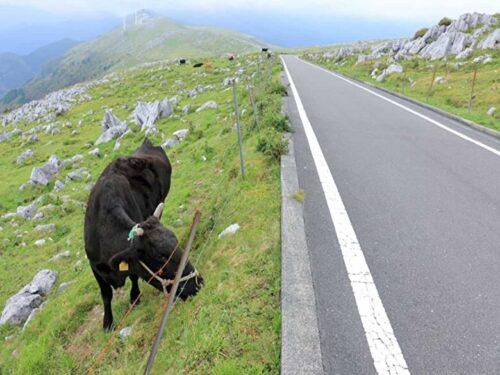 高原で放牧される牛(四国カルスト)
