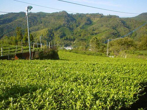 星野村茶畑
