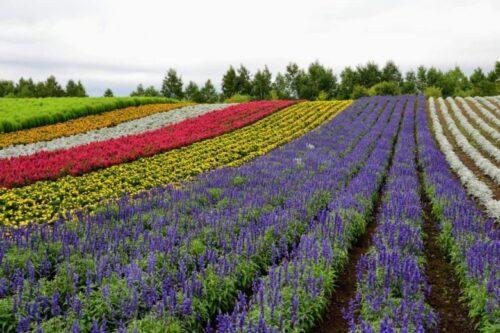 北海道の夏 ラベンダー花畑
