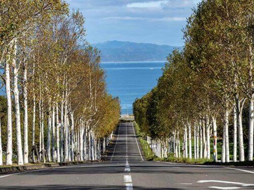 八雲町 噴火湾パノラマパーク白樺並木