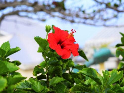 沖縄の花ハイビスカス