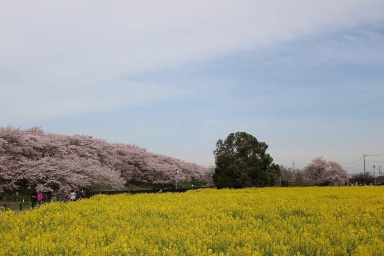 権現堂提の桜