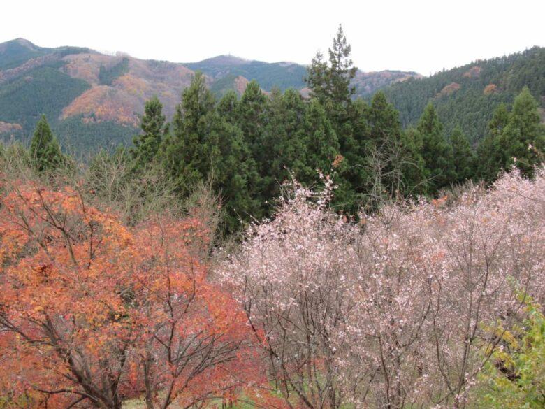 城峯公園の冬桜と紅葉