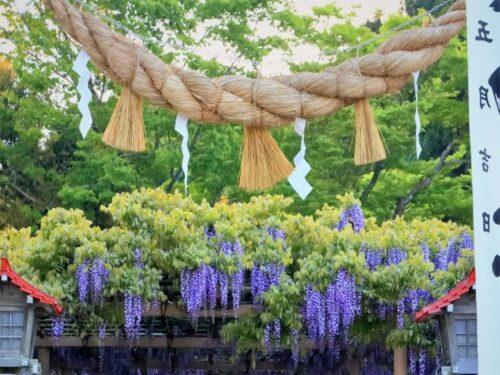 宮城県金蛇水神社に咲く藤の花