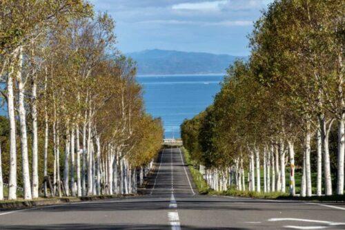 道南八雲町噴火湾パノラマパーク白樺並木