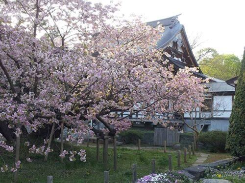 北海道 松前町 桜