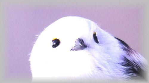 雪の妖精 シマエナガ