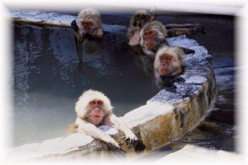 温泉が大好きサル