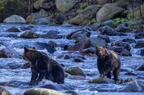 川を渡るヒグマ