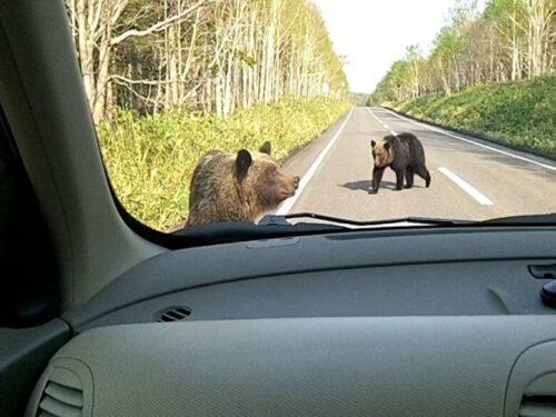 知床峠で突然クマが出没